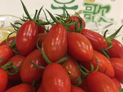 溫室栽培有機玉女番茄皮薄多汁