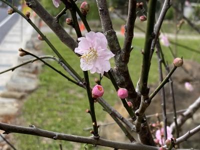春臨紅梅開