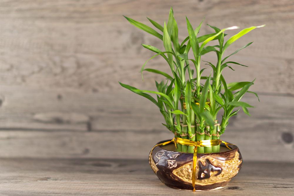居家空間中,開運竹盆栽放置於東方的文昌位有助於職場開運。